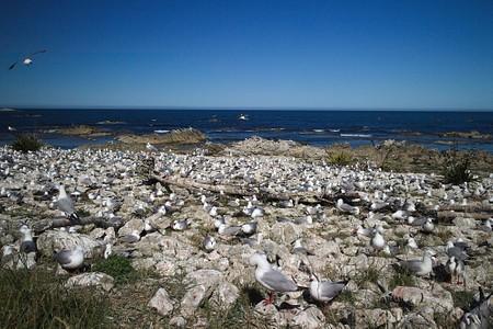 Red-billed gull colony in Kaikoura Peninsula